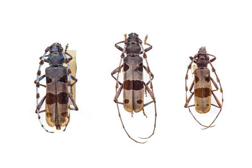 Natural sciences, zoology, insect, beetle, Rosalia
