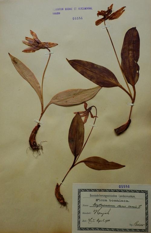 Odjeljenje za prirodne nauke, botanika, ugrožene vrste, pasji zub, Erythronium dens canis L.