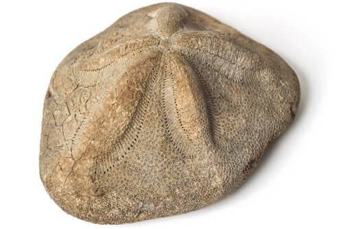 Odjeljenje za prirodne nauke, fosili, geologija, morski jež, ježinac