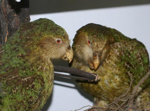 Odjeljenje za prirodne nauke, zoologija, Zoogeografska izložba, kakapo