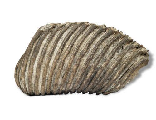 Odjeljenje za prirodne nauke, geologija, geološka prošlost, fosili, mamut