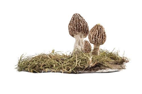 Odjeljenje za prirodne nauke, botanika, gljive, Macromycetes, smrčak, Morchella esculenta