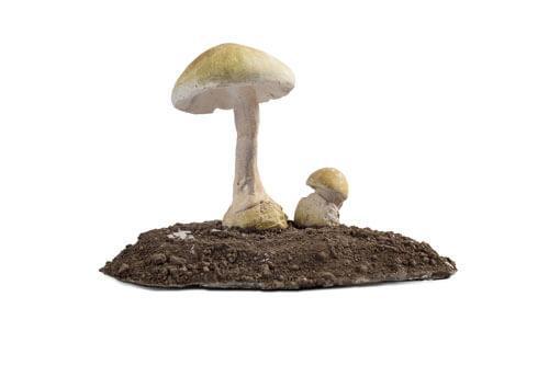 Odjeljenje za prirodne nauke, botanika, gljive, Macromycetes, zelena pupavka, Amanita phalloides