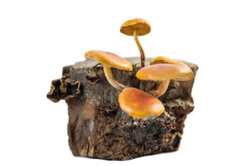 Odjeljenje za prirodne nauke, botanika, gljive, zimska panjevčica, Flammulina velutipes (Curt. ex Fr.) Sing.