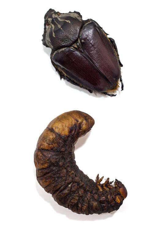Odjeljenje za prirodne nauke, zoologija, insekti, kukci, Goliath