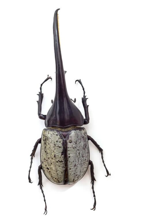 Odjeljenje za prirodne nauke, zoologija, insekti, kukci, Hercules