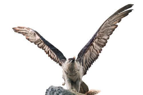 Odjeljenje za prirodne nauke, zoologija, ornitologija, ptice, bradan, kostoberina, endem