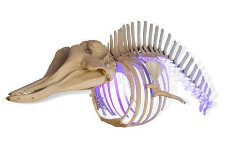 Odjeljenje za prirodne nauke, zoologija, sisari, kitovi, skelet, ulješura