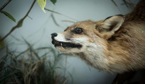 Odjeljenje za prirodne nauke, zoologija, sisari, zvijeri, Carnivora, lisica