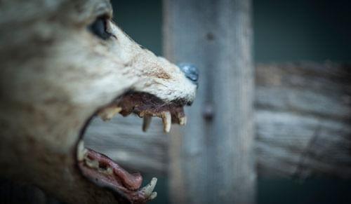 Odjeljenje za prirodne nauke, zoologija, sisari, zvijeri, Carnivora, vuk